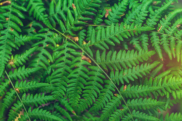Fresh green fern leaves on blur background in the garden. Texture of fern leaves.