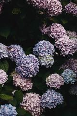 Hydrangea bush