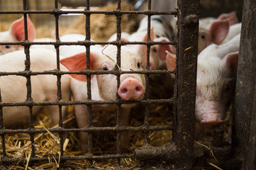 Piglet looking at camera through fence