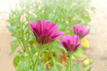 Closeup of purple daisy flower
