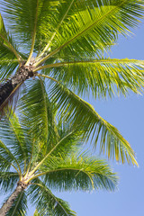 looking up at palm trees against a perfect blue sky