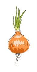 onion hand drawn painting vector art illustration