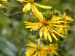 Yellow flowers and a spider in a field