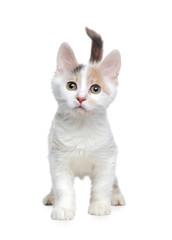 Walking little white kitten isolated on white