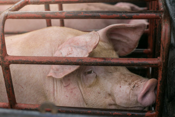 Pigs suffer in cages on the way to the slaughterhouse. Terribly sad eyes of the pig. Another proof of human cruelty.