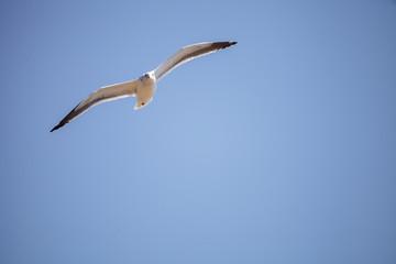 California Gull Larus californicus flies across a blue sky