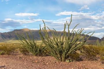 Ocotillo growing in the Franklin mountains near El Paso, Texas