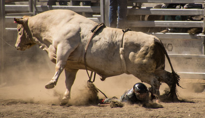 Rodeo rider trempled by a bull.