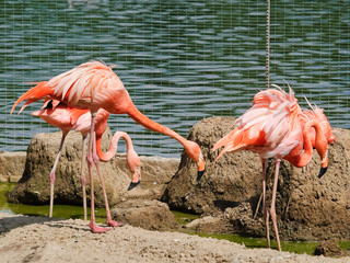 Pink flamingos at the zoo. Birds about nests