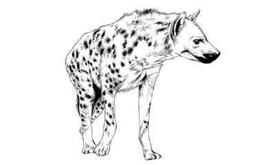 hyena drawn in ink by hand on a white background