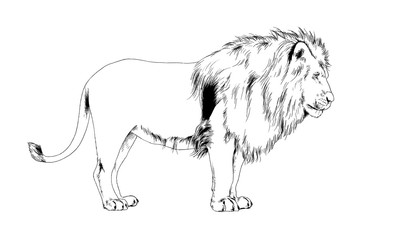 lion drawn in ink by hand on a white background