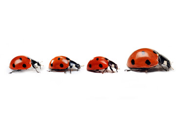 Mother ladybug with three kids