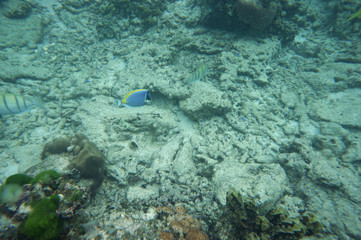 Powderblue surgeonfish with two convicted surgeonfish
