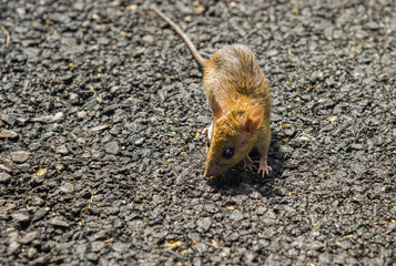 Little rat on the road.