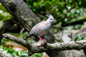 Australian Crested Pigeon on tree limb in Edward Youde Aviary, Hong Kong Park.