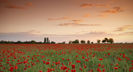 Red poppy flowers field at sunset