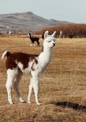 funny llama