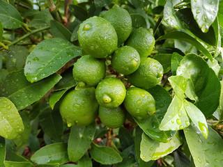 Limette, Mexikanische, Citrus x aurantium, Zitrone;