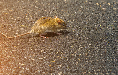 Dirty rat or get sick was walking on the street.
