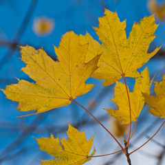 Yellow autumn maple foliage