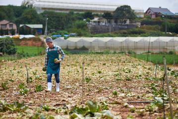 Artichoke harvest