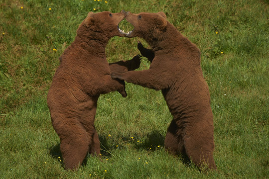 Two Brown Bears play-fighting with each other, with theirs mouth open at Cabarceno Natural Park