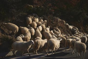 Big flock of sheeps walking along the road