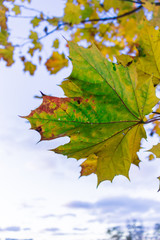 green maple leaf in autumn, sky background