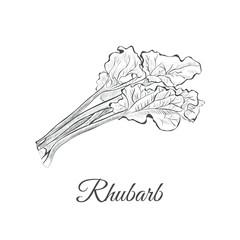 rhubarb sketch hand drawing. rhubarb vector illustration pieplant