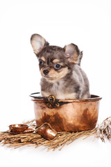 Puppy dog chihuahua and copper pot (isolated on white)