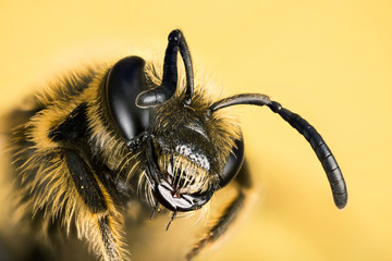 Wall Murals Bee Focus Stacking - Small Scabious Mining-bee, Mining-bee, Bee, Andrena marginata