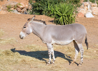 Somali wild ass (Equus africanus somaliensis) a critically endangered species found in Somalia, Eritrea, and Ethiopia.