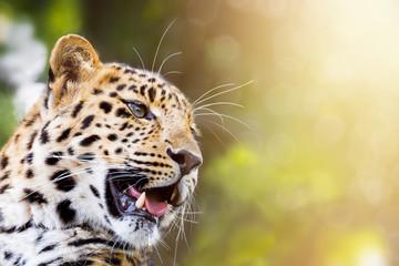 Leopard in sunlight