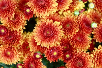 The colorful autumn mum flowers on a close up view.