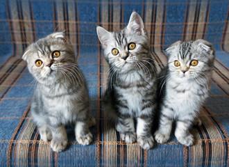 Small scottish fold  kittens