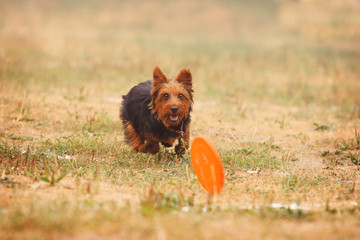 A dog terrier runs after a frisbee in the field