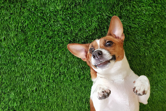 Crazy smiling dog lying on green gras