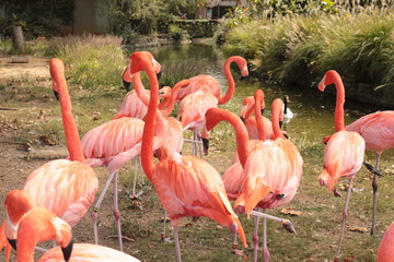 flamingos milling about