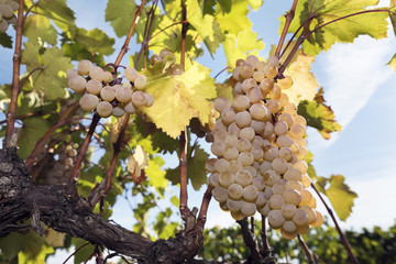 Grapes Vineyard Harvesting Vine Amber Rkatsiteli