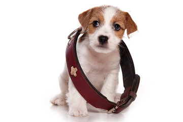 Puppy Jack Russell Terrier Dog and Big Collar (isolated on white)