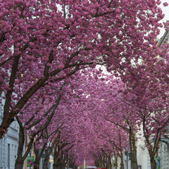 Cherryblossom in Heerstraße in the German city of Bonn
