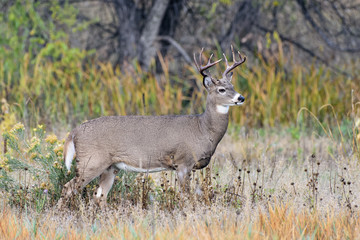 White-tailed Deer Buck In Autumn