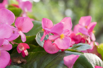 Begonia cucullata in bloom with pink petals and big leaves