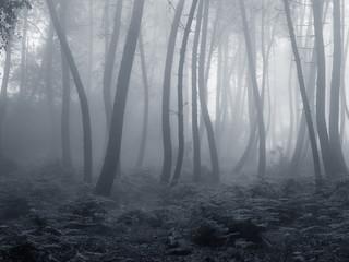 Beautiful foggy woods