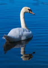 Poster Cygne Schwan mit Spiegelbild auf blauem See