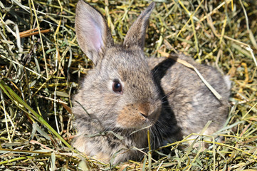 pet rabbit on background of dry grass