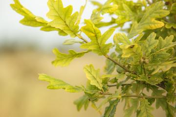 Oak tree branches