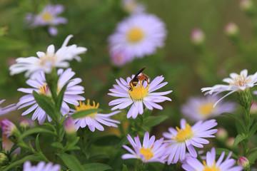 Two moth sitting on purple flowers....