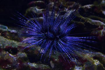 Live specimen of a reef urchin, Echinometra viridis, underwater.