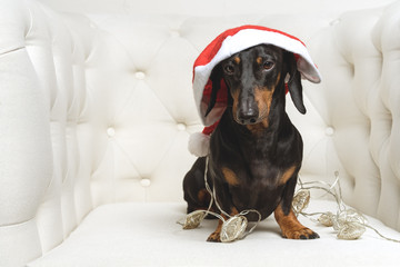 Adorable  dog (puppy) dachshund, black and tan, wearing Santa hat and wrapped in a New Year's garland, ready for Christmas, sits in a white armchair. toned